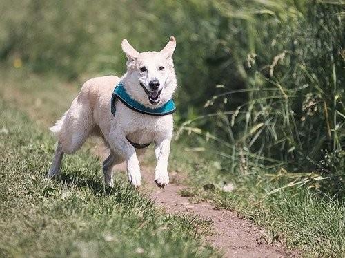 Vit hund